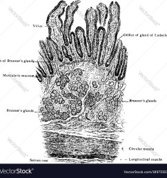 diagram of small intestine [ 1000 x 996 Pixel ]