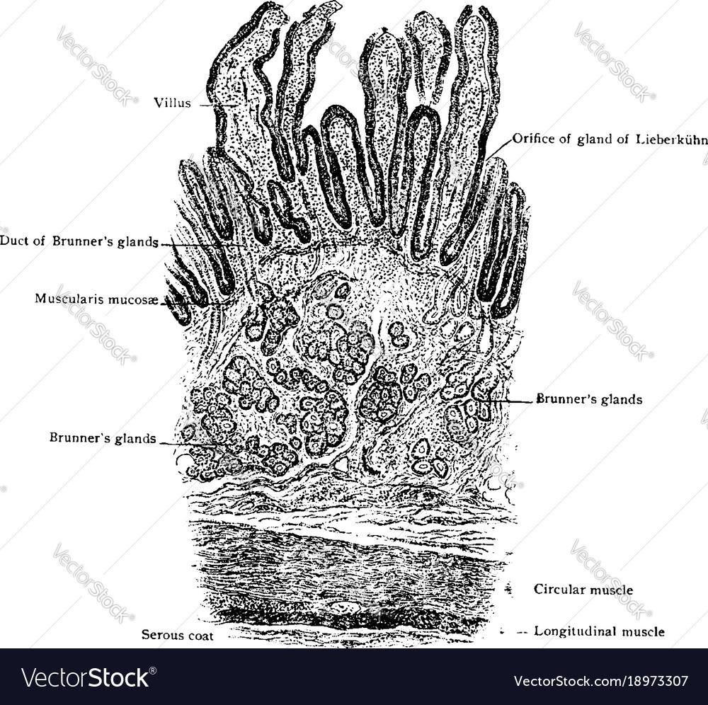 hight resolution of diagram of small intestine