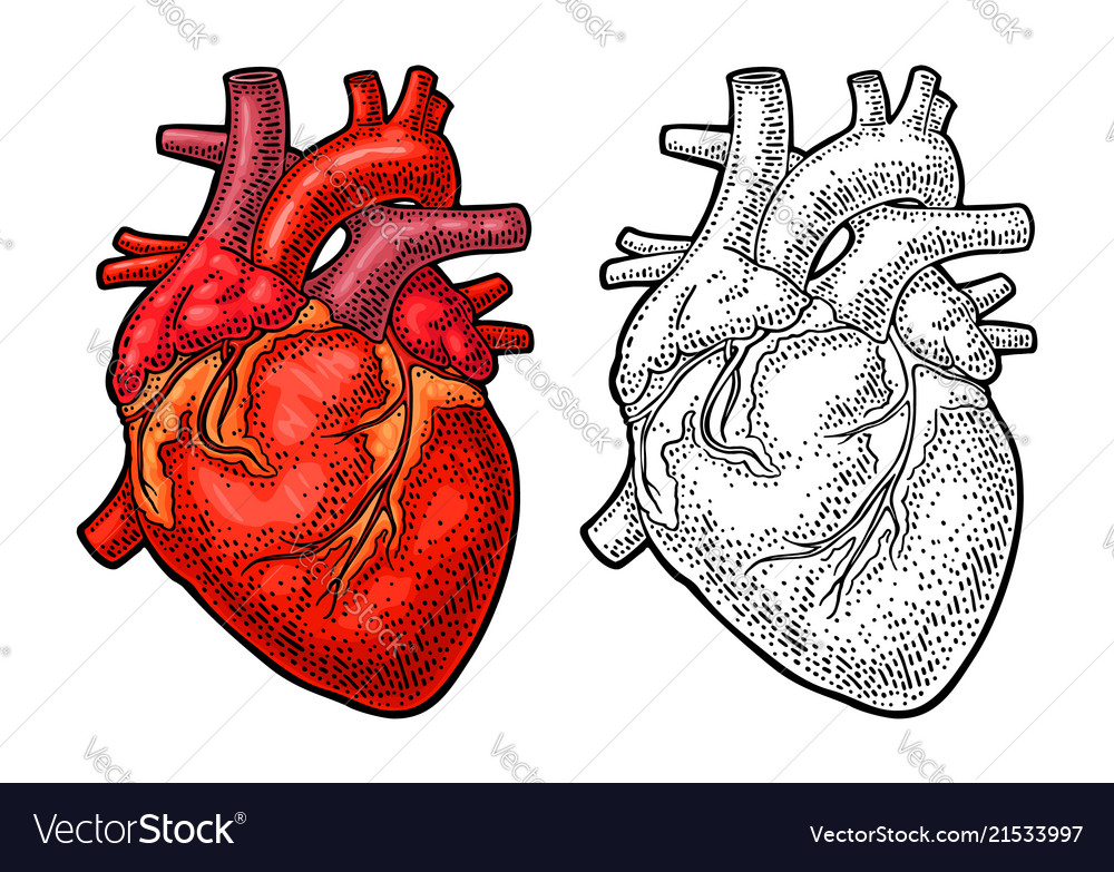 anatomical heart diagram ford escape wiring harness human anatomy color vintage royalty free vector image