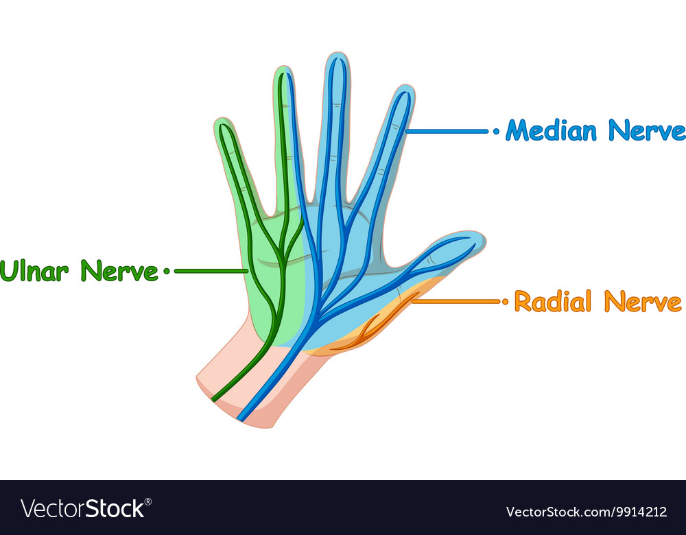 hand nerves diagram verizon fios ont wiring showing nerve royalty free vector image