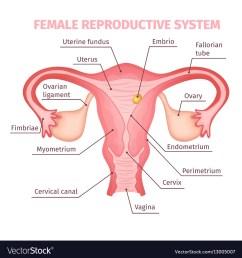 female reproductive structure diagram [ 999 x 1080 Pixel ]