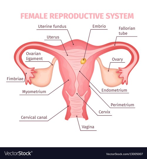small resolution of female reproductive structure diagram