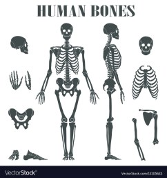 human skeleton with different parts vector image [ 1000 x 1080 Pixel ]