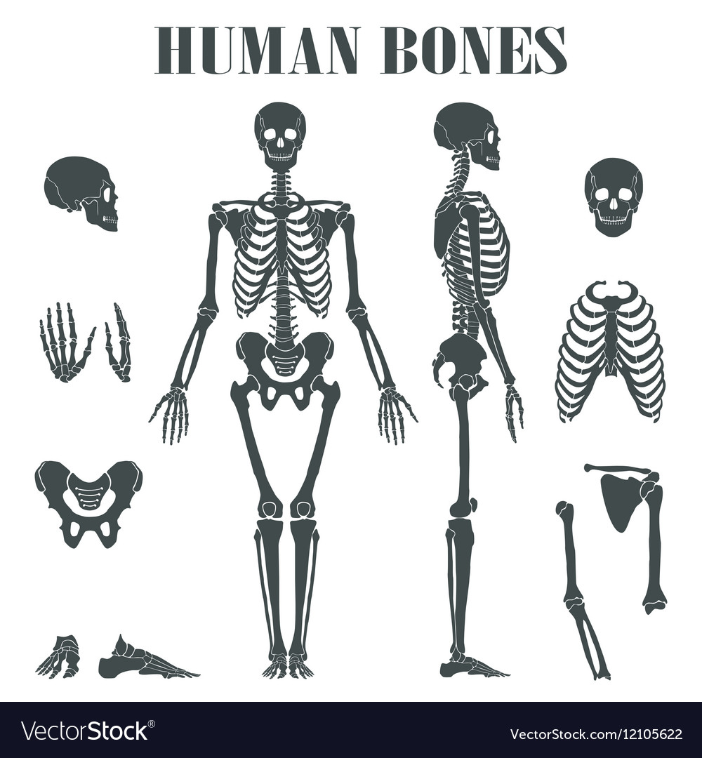 names of bones in human skeleton diagram lymph nodes neck with different parts royalty free vector image