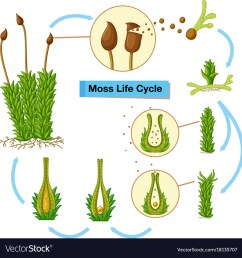 diagram showing moss life cycle royalty free vector image diagram of moss [ 1000 x 1048 Pixel ]