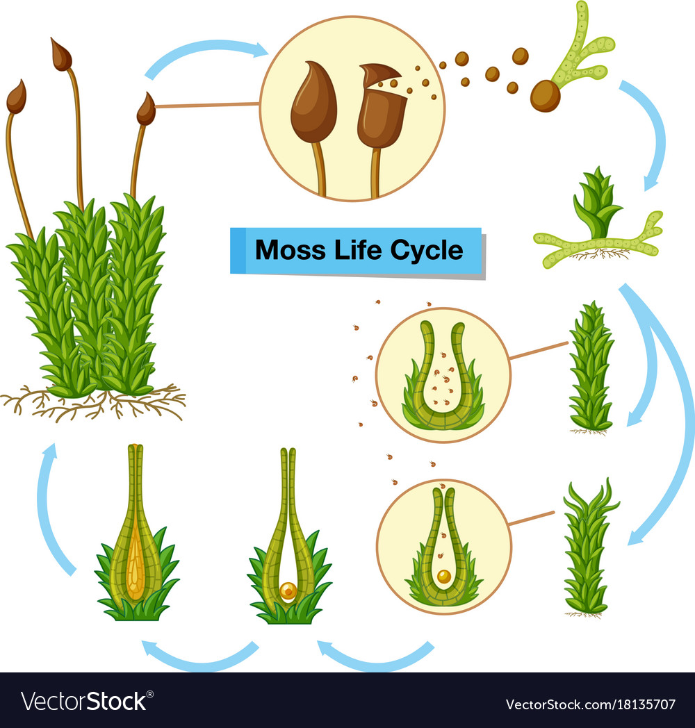 medium resolution of diagram showing moss life cycle royalty free vector image diagram of moss