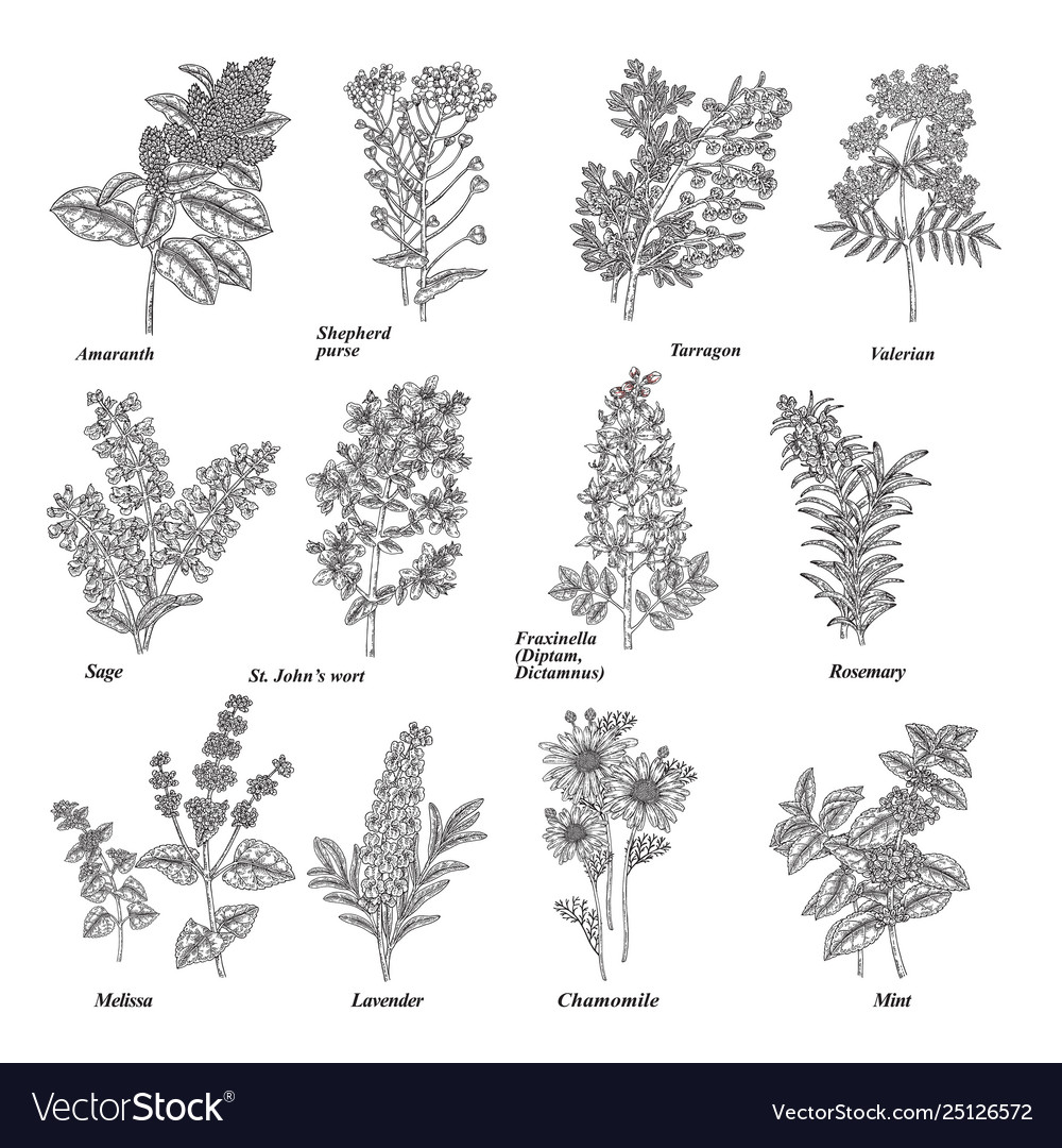 hight resolution of rosemary herb diagram