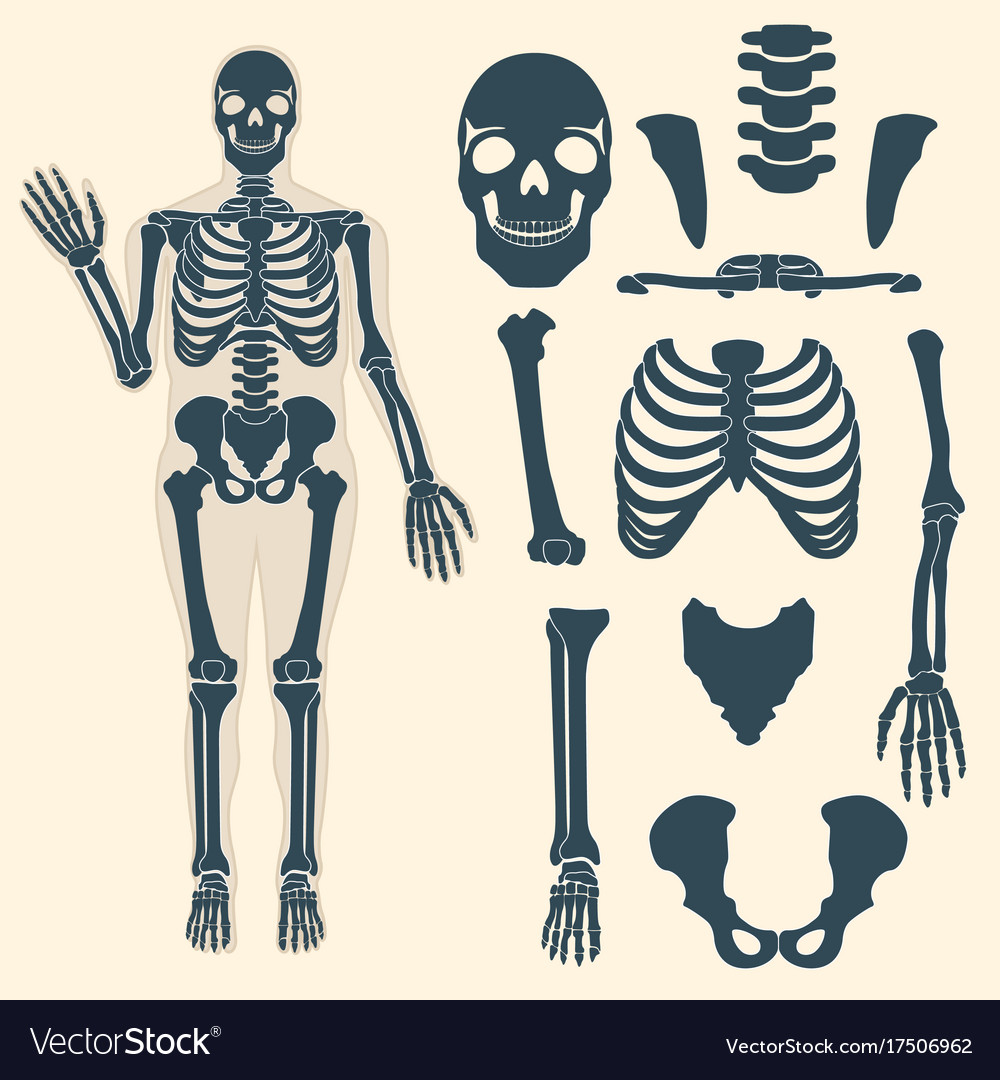 names of bones in human skeleton diagram sony xplod 52wx4 wiring with different parts anatomy vector image