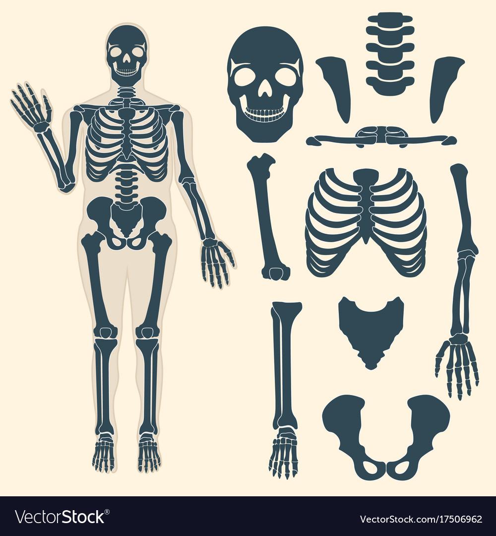 hight resolution of skull skeleton diagram