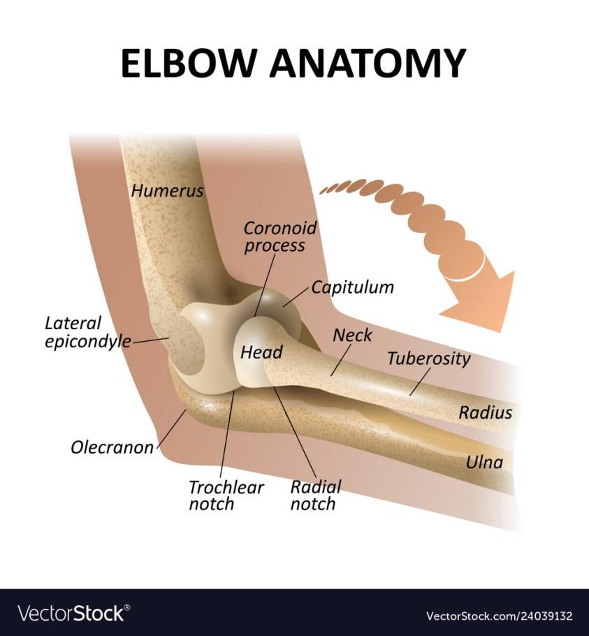 34 Elbow Diagram Anatomy - Wiring Diagram Database