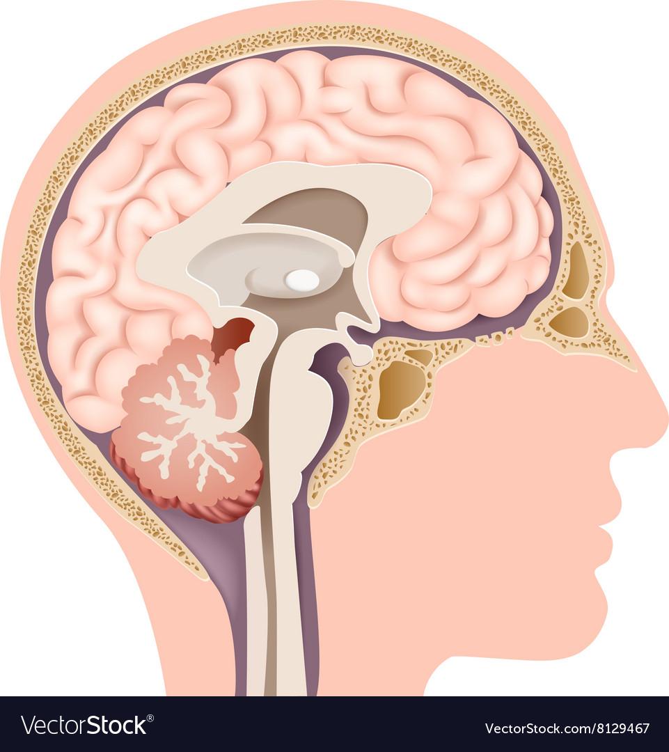 internal brain diagram gio electric scooter wiring cartoon of human anatomy royalty free vector image