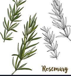 rosemary herb diagram [ 890 x 1080 Pixel ]