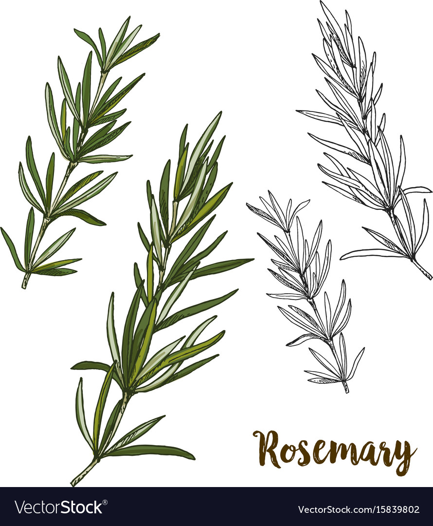 medium resolution of rosemary herb diagram