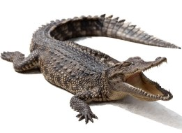 Image result for alligator