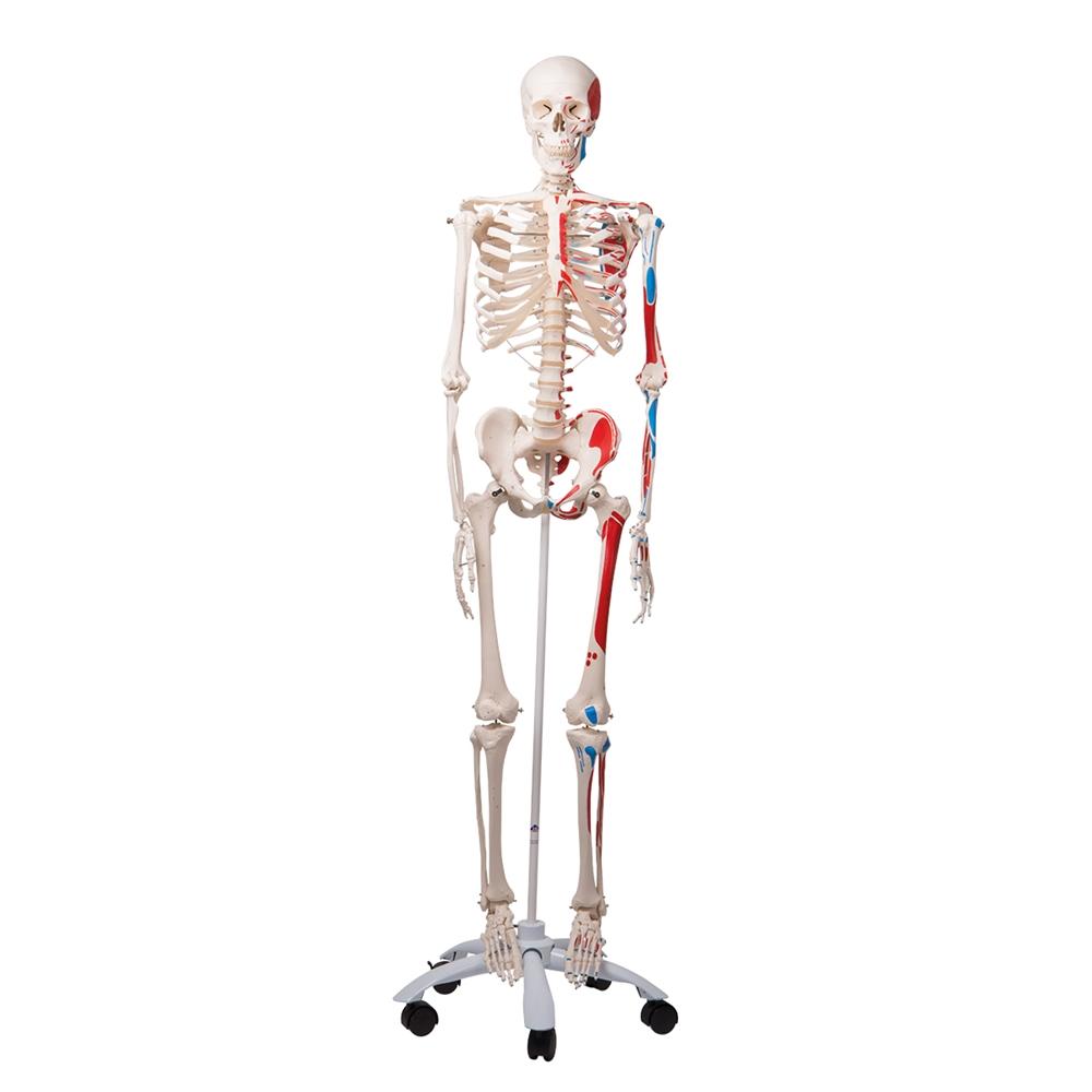small resolution of empty skull bone diagram