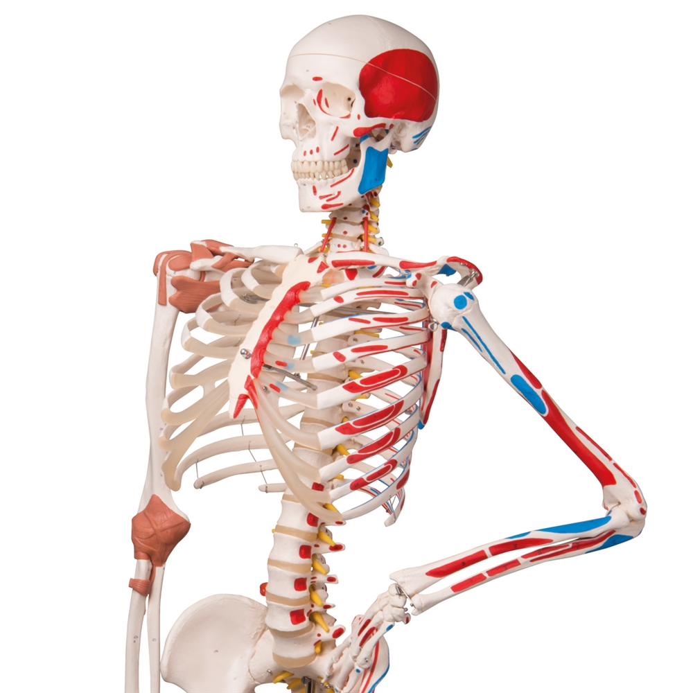 human skeleton and muscles diagram 2003 jetta tail light wiring sam with ligaments on pelvic stand the super anatomical model roller a13