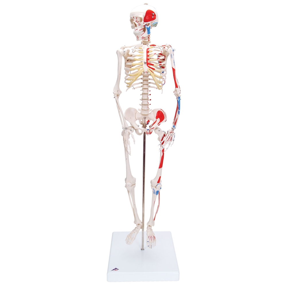 medium resolution of mini skeleton shorty with painted muscles on base