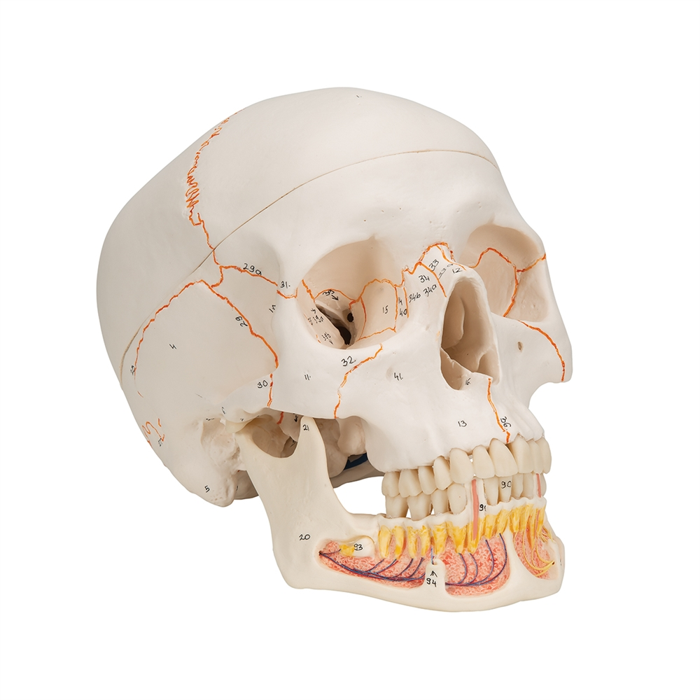 hight resolution of classic human skull model with opened lower jaw 3 part a22