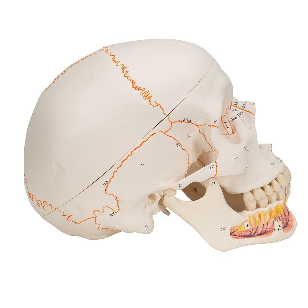 hight resolution of empty skull bone diagram