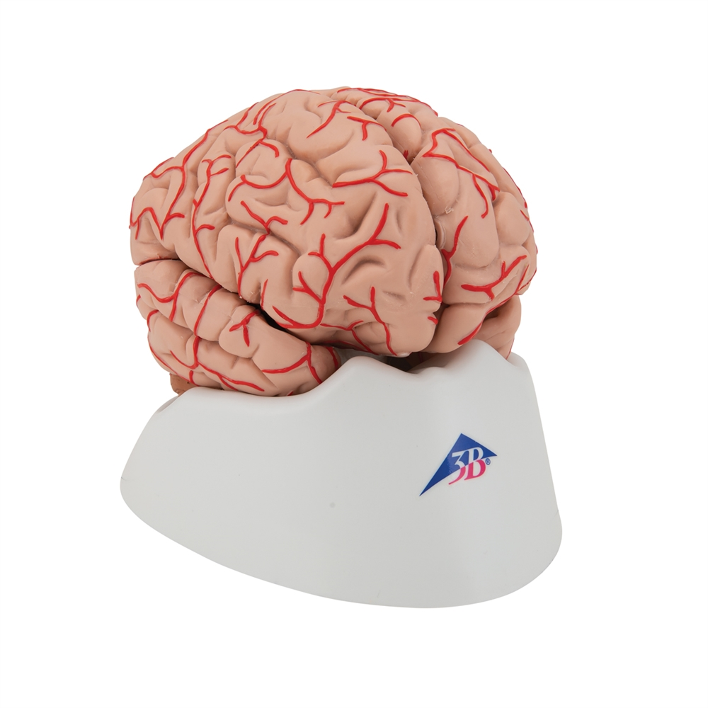 hight resolution of brain model with arteries human brain model with arteries 3b scientific brain model with