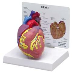 Anatomical Heart Diagram Yaskawa V1000 Wiring Model 2 Part Gp2500