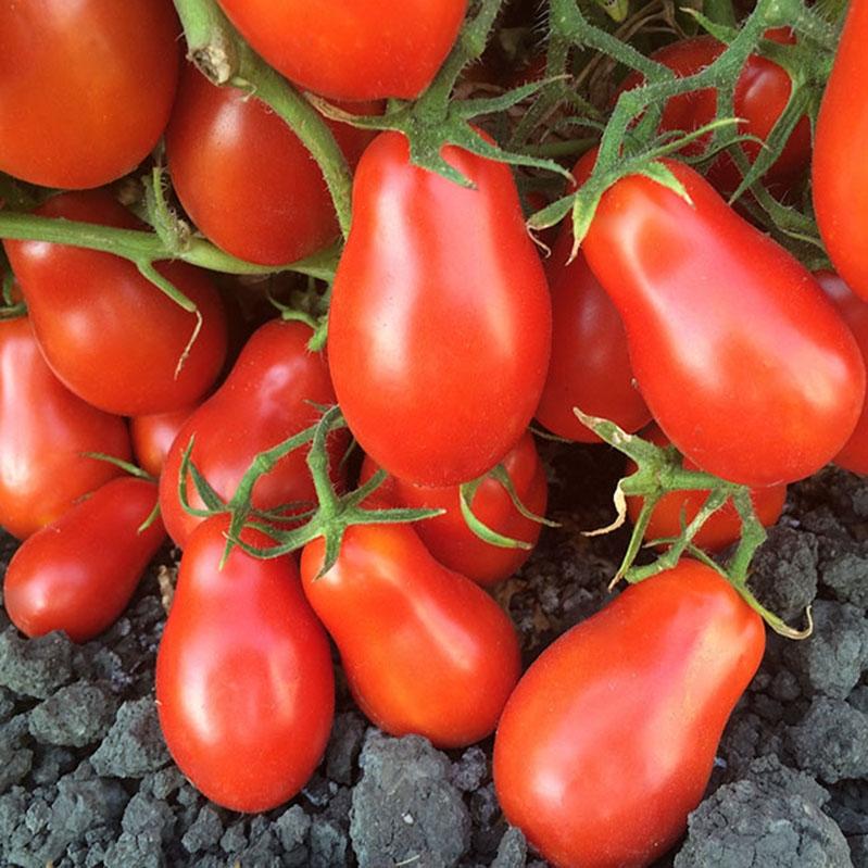 Martino's Roma Organic Tomato Seeds | TomatoFest