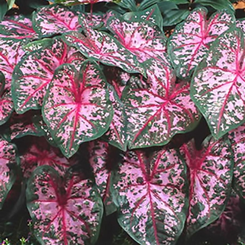 carolyn whorton caladium-fancy