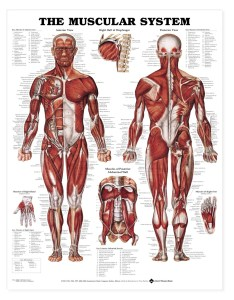 The muscular system anatomical chart anatomy models and charts also rh shopanatomical