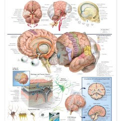 Lower Brain Diagram Honeywell Pro 3000 Wiring Anatomy Of The Anatomical Chart Models And