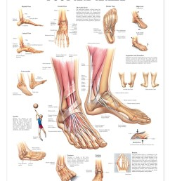 foot and ankle anatomical chart anatomy models and anatomical charts anatomical shoulder diagram anatomical foot diagram [ 1166 x 1500 Pixel ]