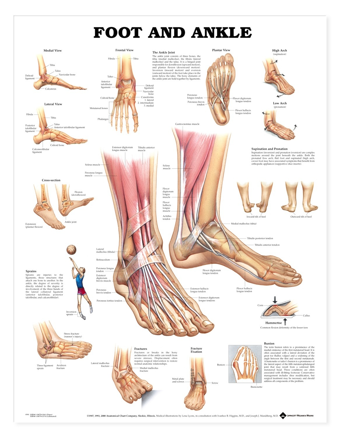 human leg anatomy diagram fender noiseless pickups wiring foot and ankle anatomical chart models charts