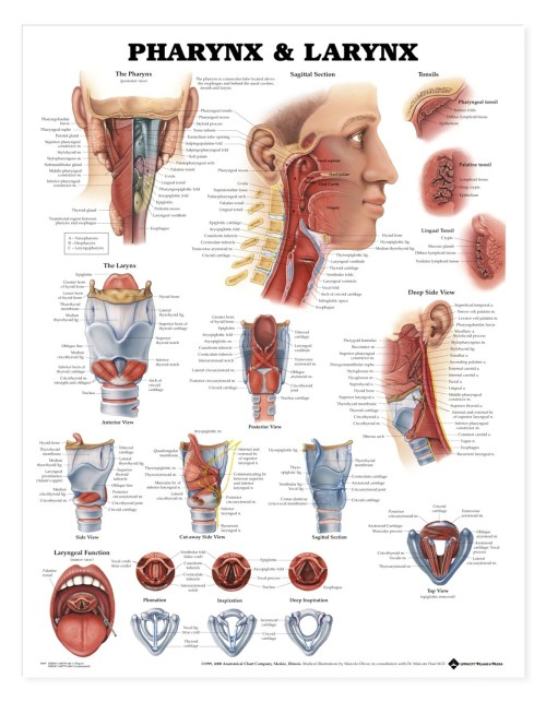 small resolution of part of the larynx diagram