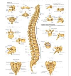 human vertebral column anatomical chart anatomy models and anatomical charts [ 1166 x 1500 Pixel ]