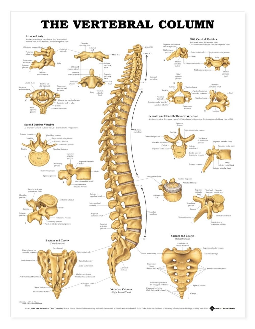 medium resolution of human vertebral column anatomical chart anatomy models and anatomical charts