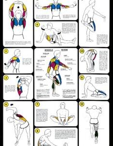 Weight training flexibility laminated anatomical chart also anatomy rh shopanatomical
