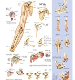 shoulder and elbow anatomical chart anatomy models and anatomical charts [ 1166 x 1500 Pixel ]
