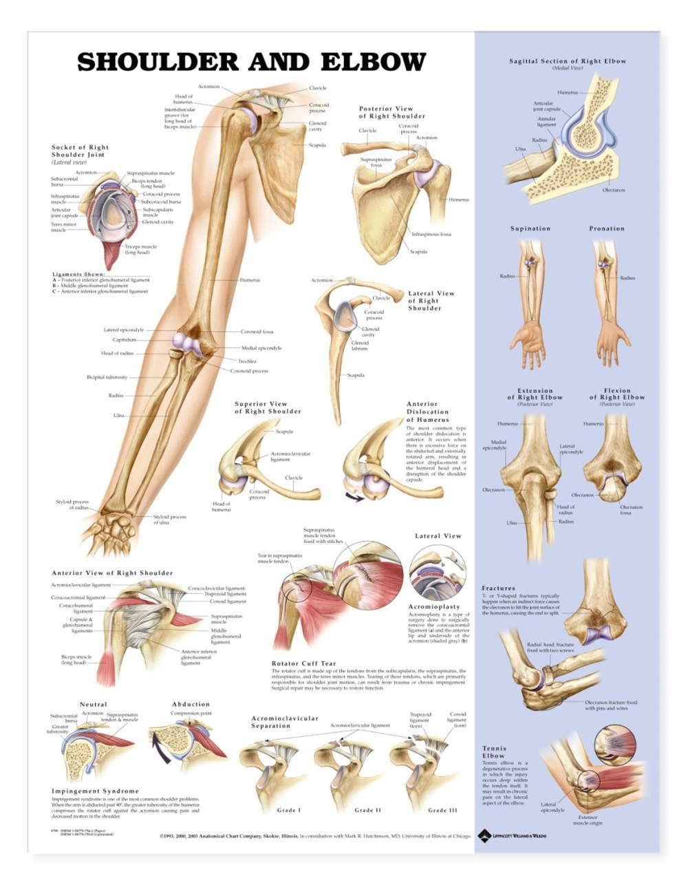 medium resolution of shoulder and elbow anatomical chart anatomy models and anatomical charts
