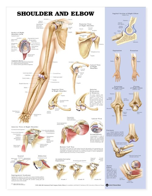 small resolution of shoulder and elbow anatomical chart anatomy models and anatomical charts