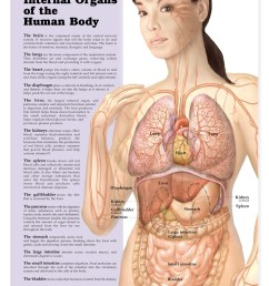 internal organs of the human body anatomical chart [ 1166 x 1500 Pixel ]