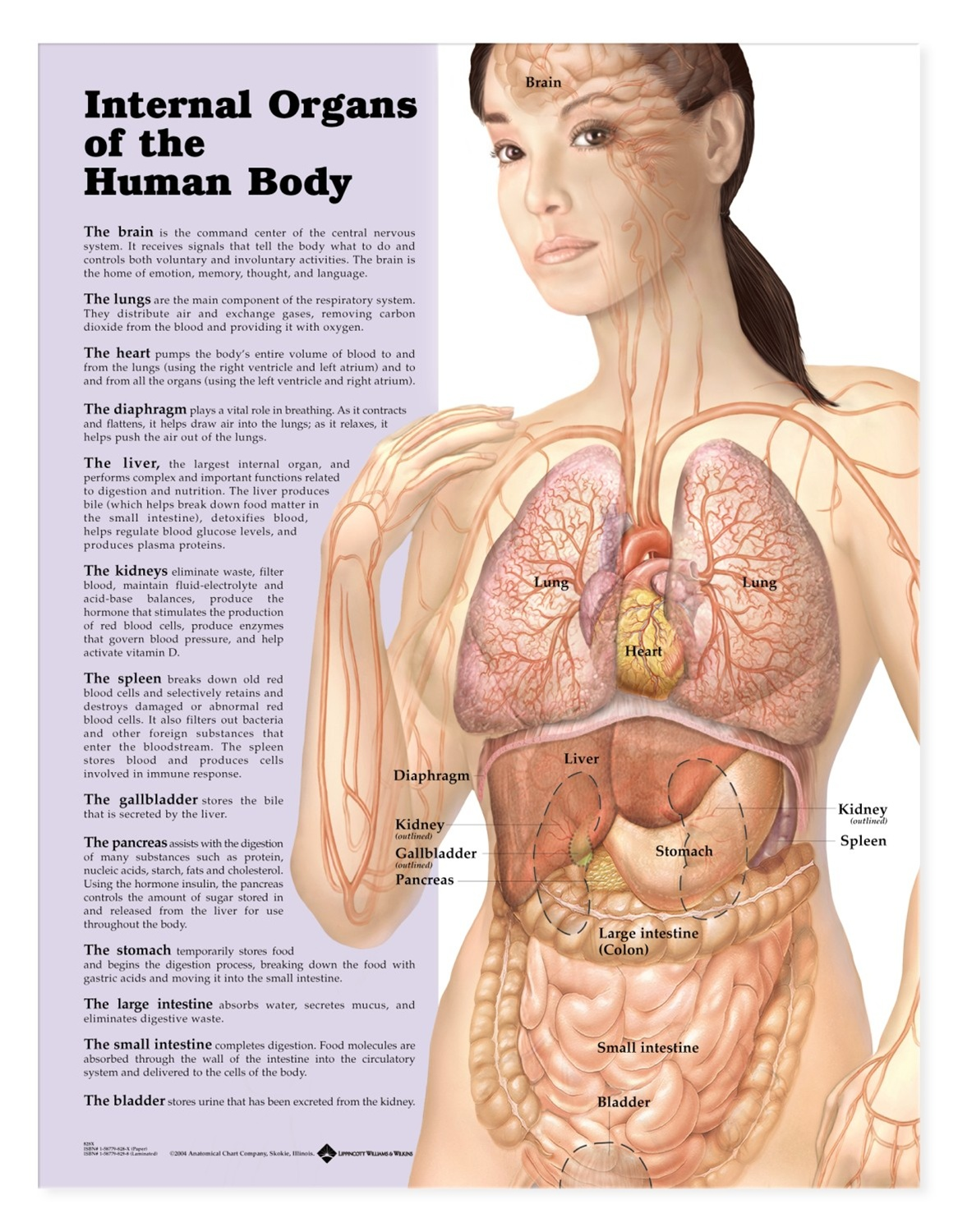 hight resolution of internal organs of the human body anatomical chart