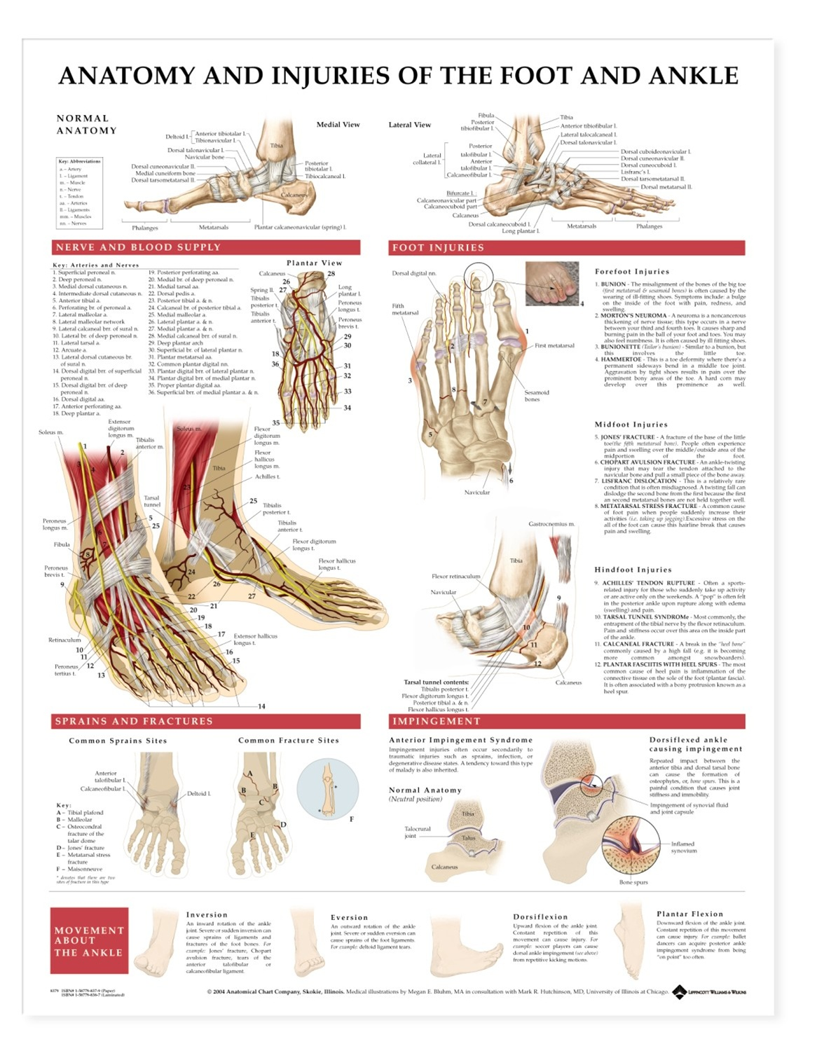 hight resolution of anatomy and injuries of the foot and ankle anatomical chart
