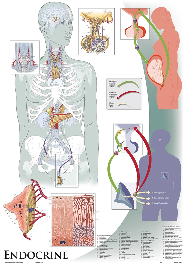 also oversize endocrine system wall chart  rh shopanatomical