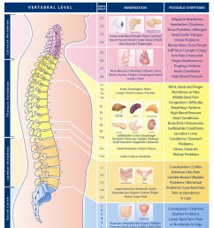 spinal nerve function anatomical chart anatomy models and anatomical charts [ 1166 x 1500 Pixel ]