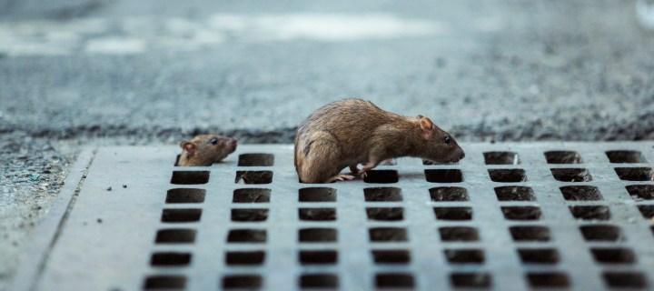 Grate Hero Rats