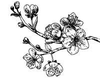 Disegno di Ramo di ciliegio da Colorare - Acolore.com