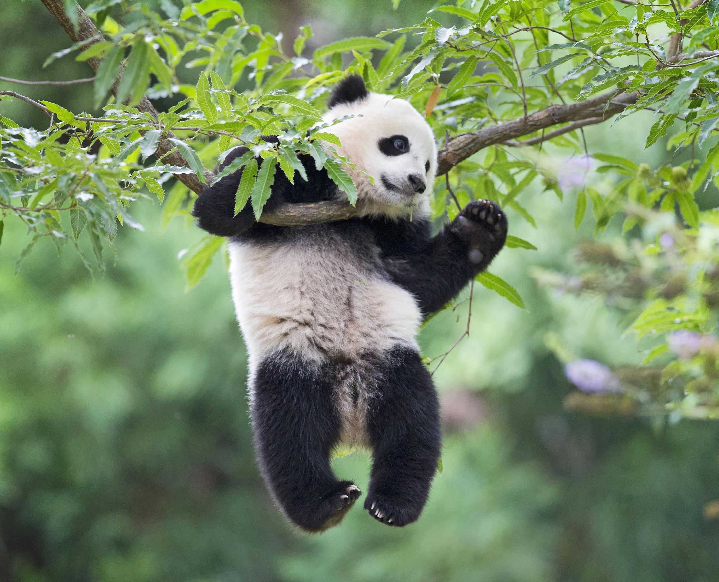 Americas Favorite Giant Panda Celebrates First Birthday