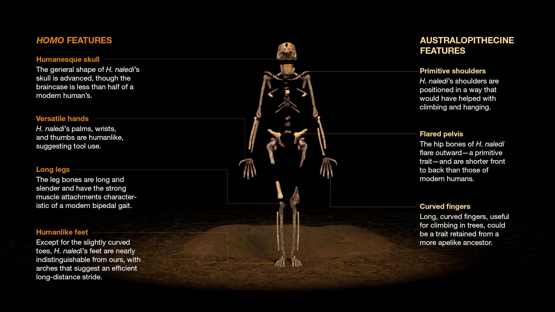 Is Homo Naledi A New Species Of Human Ancestor Kids News