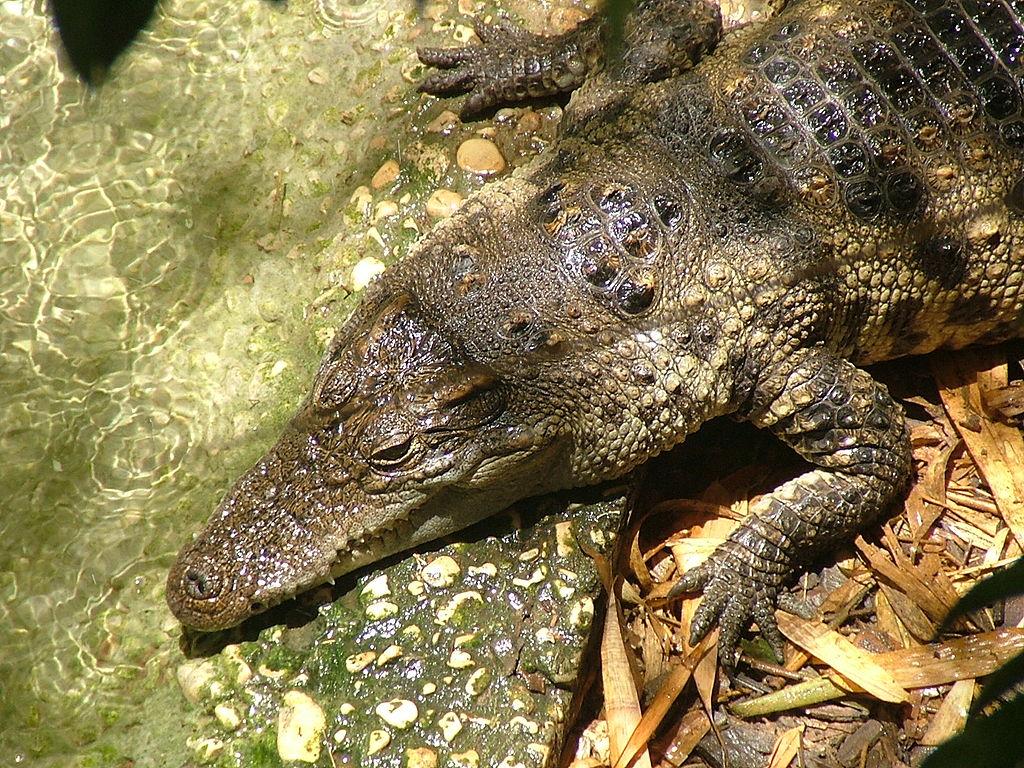 Why Crafty Crocodiles May Be Sleeping With One Eye Open