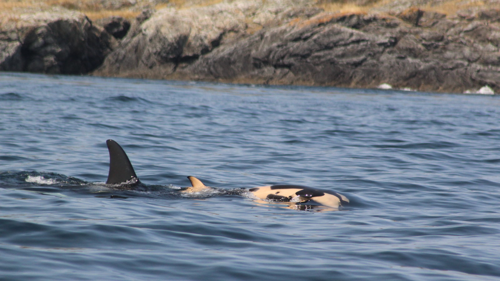 Grieving Salish Sea Orca Whale Carries Dead Calf For 17