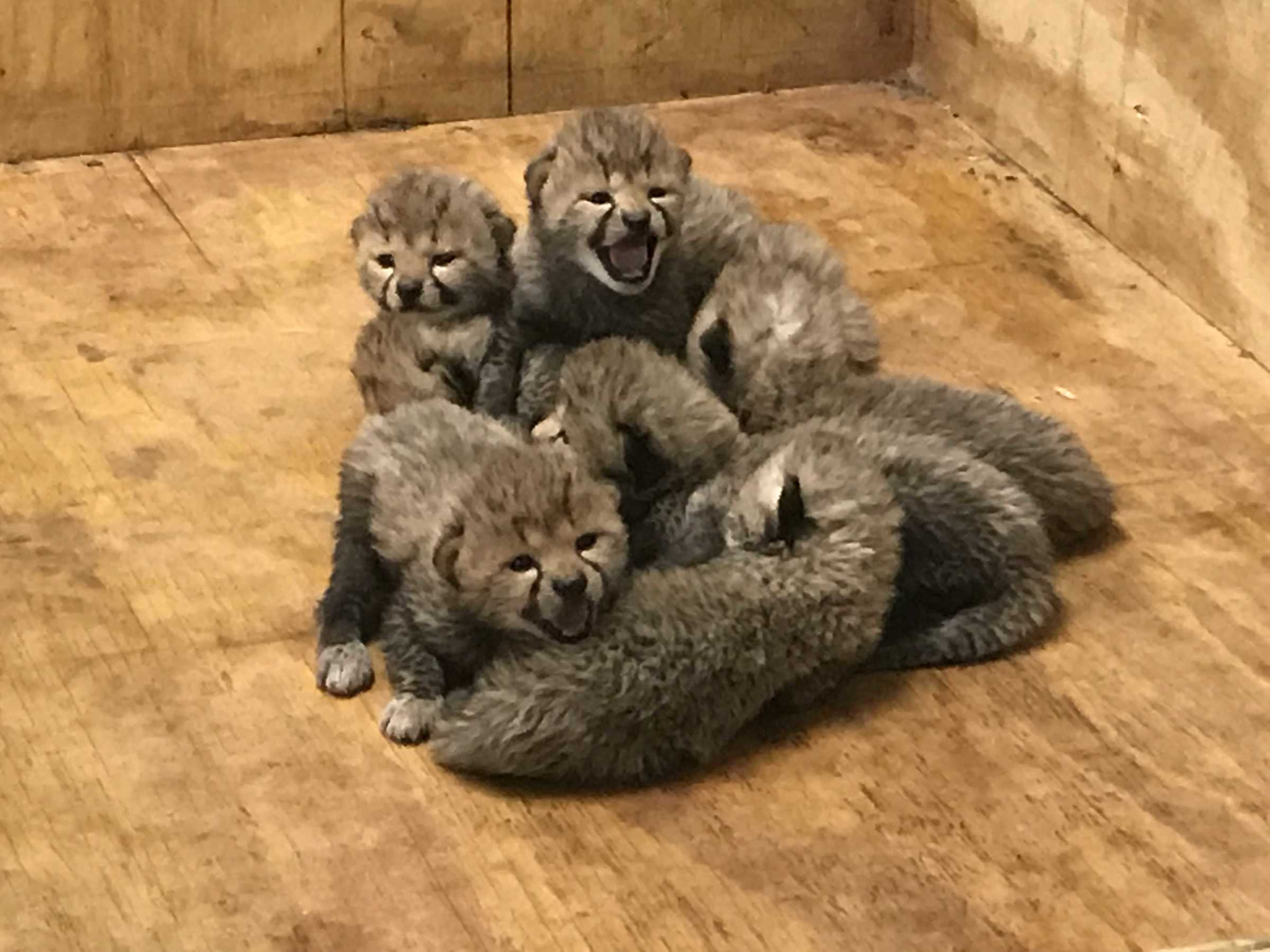 St Louis Zoo Welcomes Eight Adorable Cheetah Cubs Kids